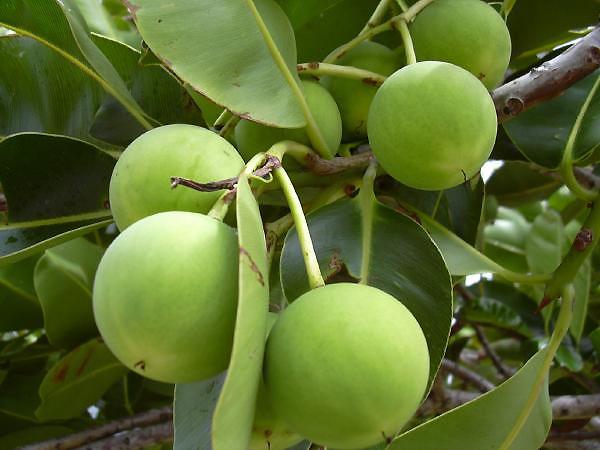 Calophylle inophyle bio