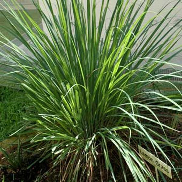 lemongrass bio