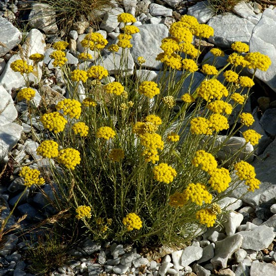 hélichryse italienne bio