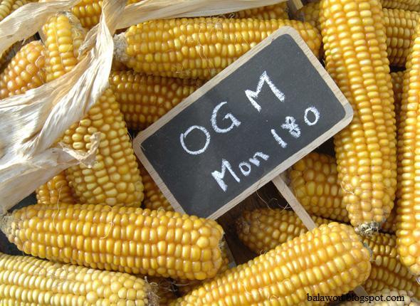 Maïs OGM Mon 180