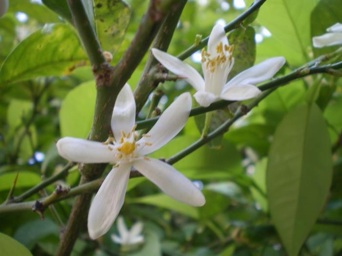 Néroli (ou fleur d'oranger)
