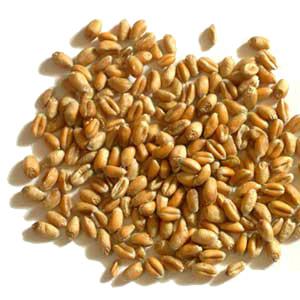 blé bio