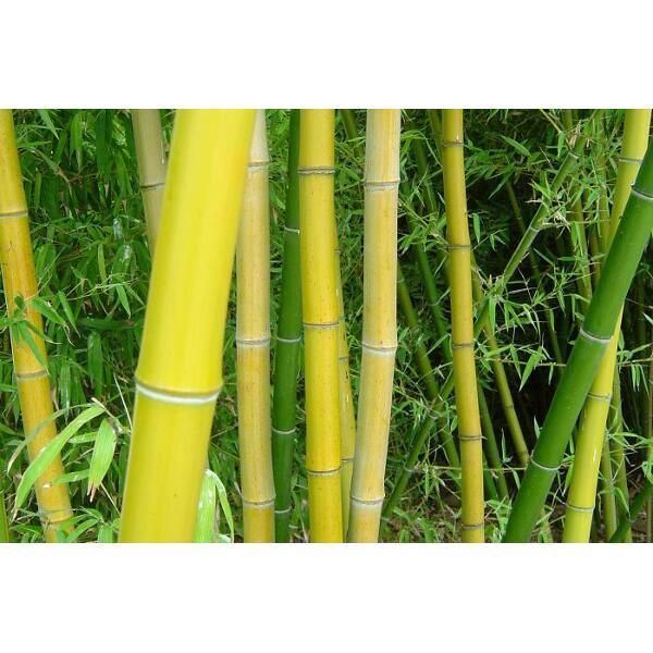 Bambou - plante - tiges et feuilles