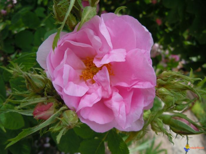 Rose Musquee Du Chili Rosa Rubiginosa