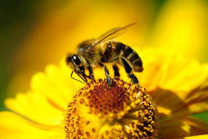 effondrement des colonies d'abeille