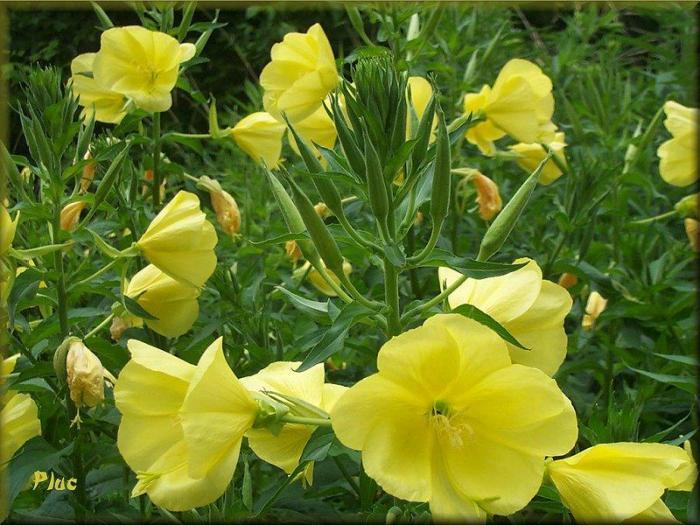 Fleurs d'Onagre