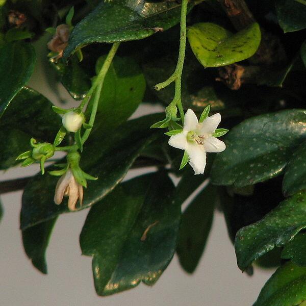 tea tree bio huile essentielle bio