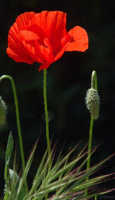 Fleur de Coquelicot
