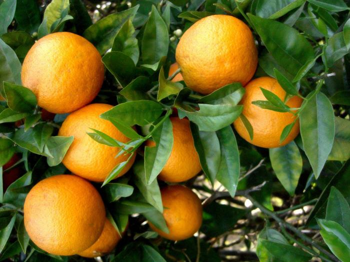 Oranger amer bio