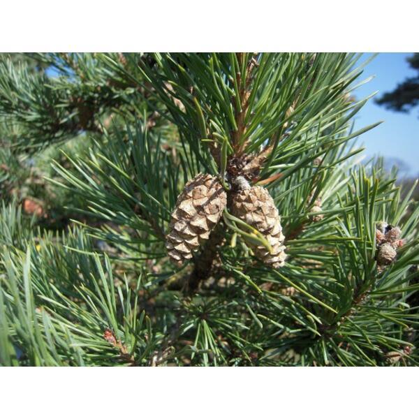 pin sylvestre bio