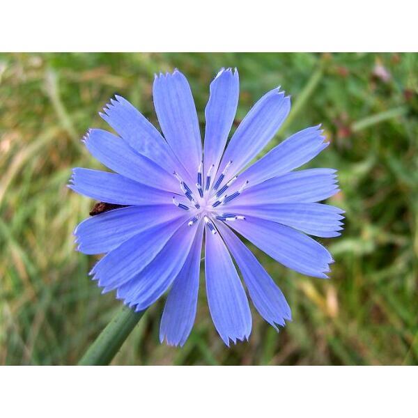 chicorée fleur bleu bio
