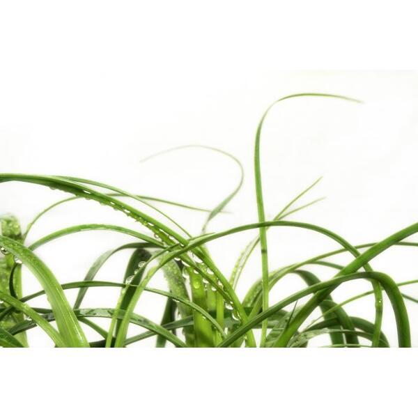 Chiendent feuilles bio