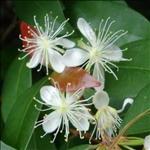 Huile essentielle baume de copaiba