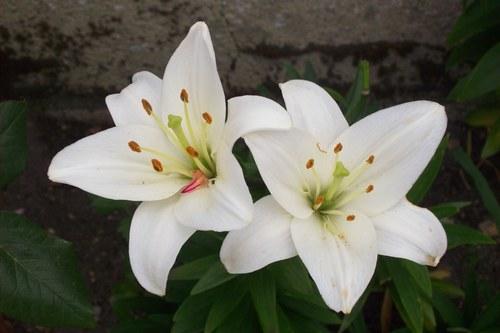 fleur de lys bio