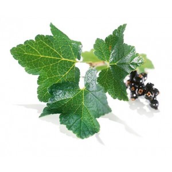 feuilles de cassis bio et fruits