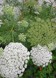 Fleurs de Kella