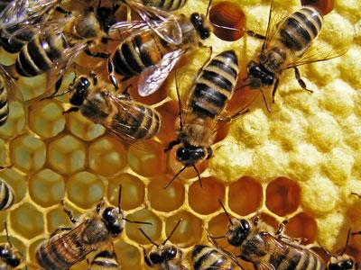 communication électrique abeilles