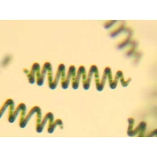 spiruline - spirulina platensis