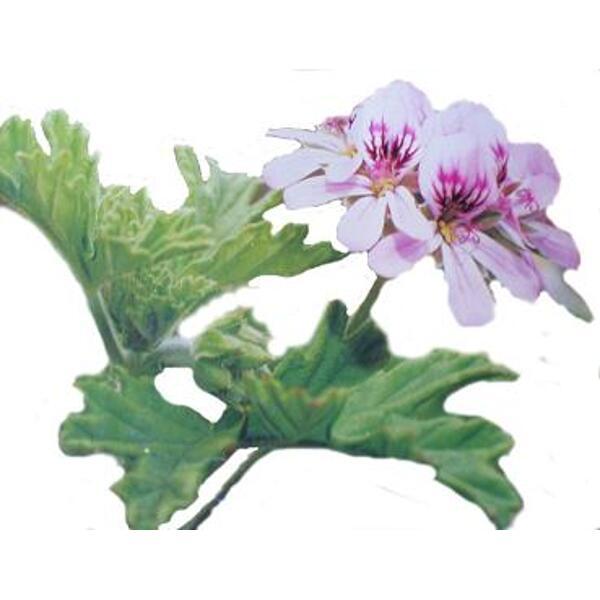 huile essentielle bio géranium geranium pelargonium graveolens