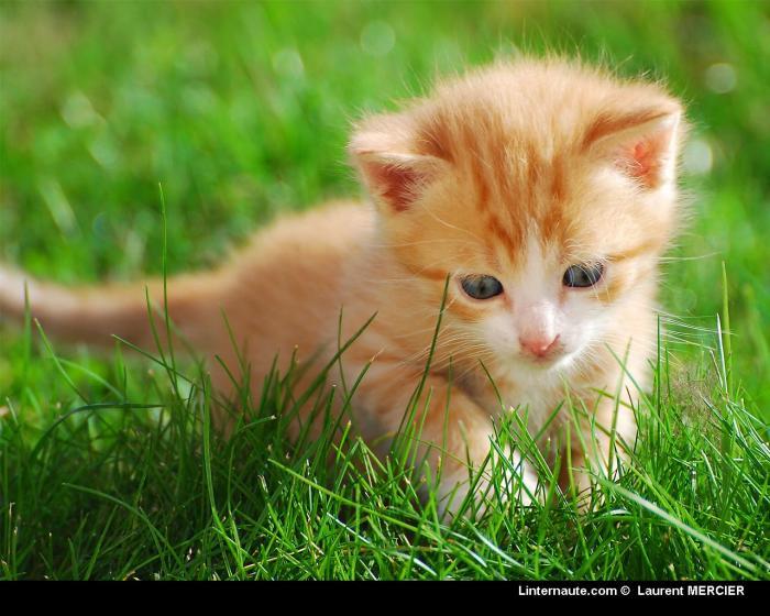 Un traitement contre l'allergie au chat pourrait voir le jour