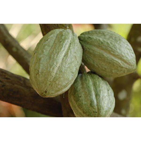 Le cacao dans son état naturel
