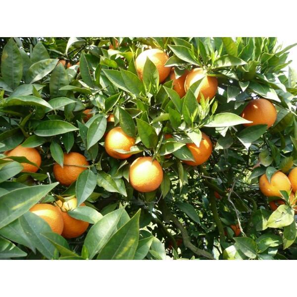 huile essentielle bio oranger bigarade