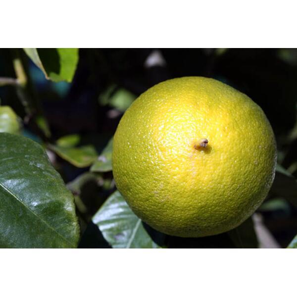 huile essentielle de citron bio zestes