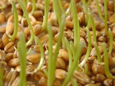 germes de blé bio