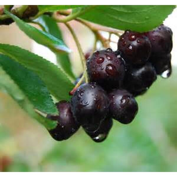 Baies fraiches d' aronia