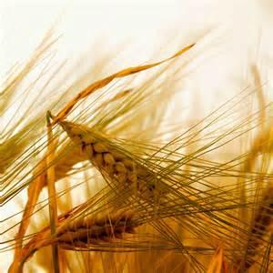 Pesticides et blé - pesticides à l'origine des cancers