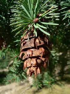 Pin Douglas bio - Hydrolat de pin douglas - Pseudotsuga menziesii