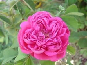 Rose de Damas bio - Hydrolat de Rose de Damas - Rosa Damascena