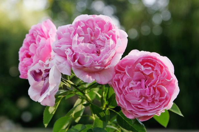 Rose de mai bio - Hydrolat de rose de mai - rosa centifolia