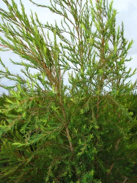 Tea tree  bio - Hydrolat de Tee tree - Malaleuca alternifolia
