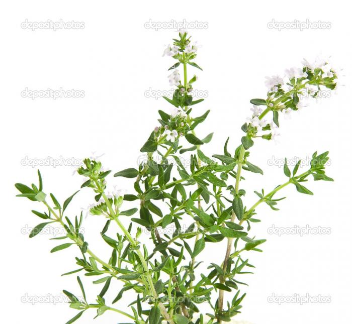 Thym à linalol bio - Hydrolat de Thym à linalol - Thymus vulgaris CT linalol