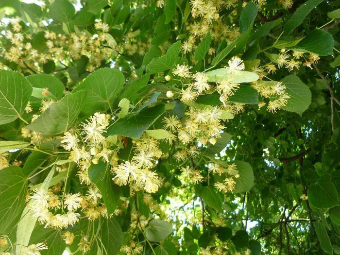 Tilleul bio - Hydrolat de Tilleul - Tilia vulgaris