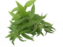 verveine odorante bio - Hydrolat de verveine odorante - Lippia citriodora