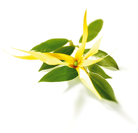 Ylang – ylang - Hydrolat de Ylang-Ylang - Cananga odorata