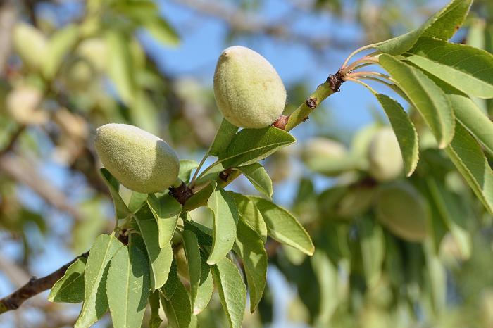 black almond tree removal - HD1200×800