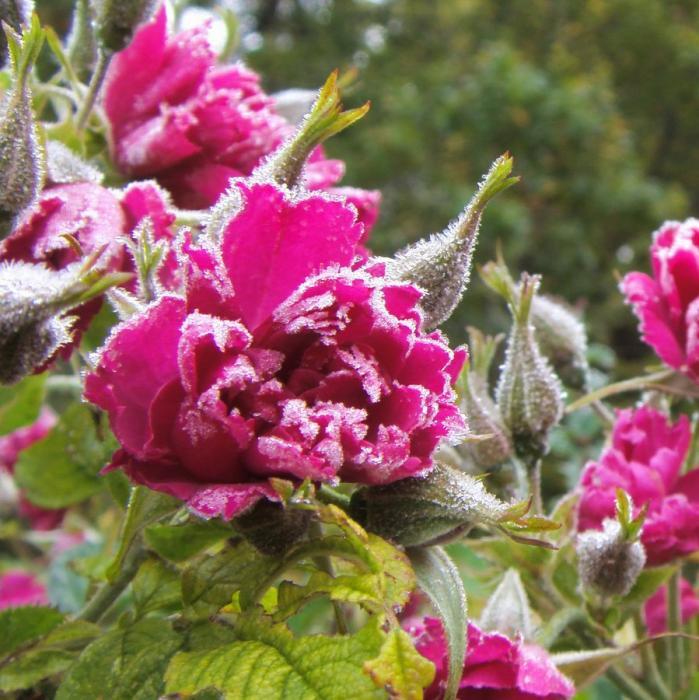 Huile essentielle de bois de rose - Aniba rosaeodora