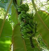 image de plantation de banane bio