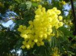 Acacia du sébégal - Mimosa bio