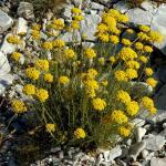 hydrolat d'hélichryse bio