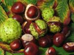 Fruit de Marronnier d'Inde