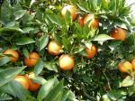 oranger petit grain bigarade bio