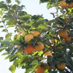 kakier - arbre du kaki