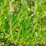 Romarin à verbénone bio - Hydrolat de romarin à verbénone - Rosmarinus officinalis CT verbenone