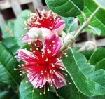 fleur feijoa