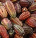 Fèves de cacao bio et cabossage